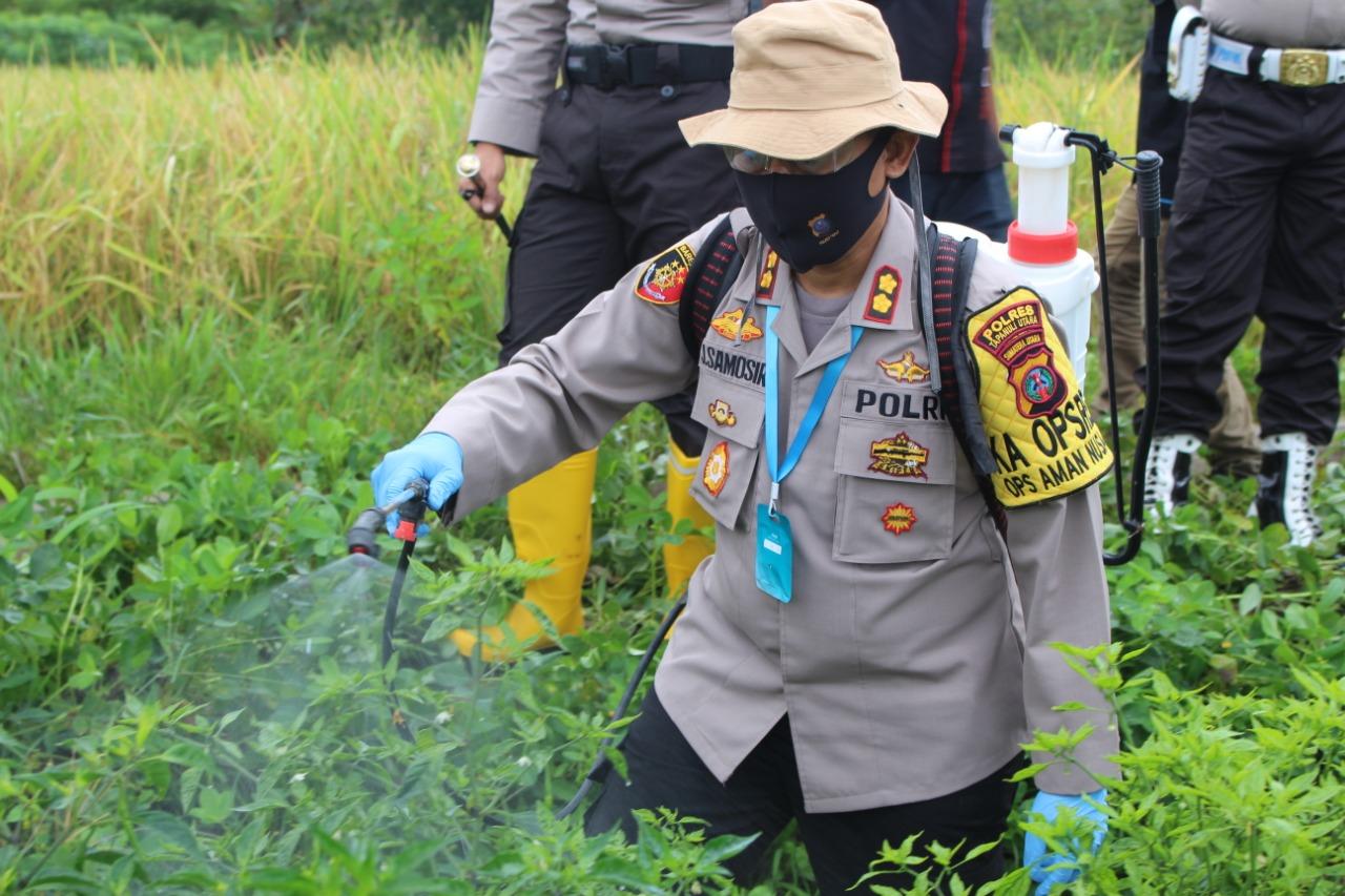 Kapolres Tapanuli Utara, AKBP Jonner Samosir SIK saat melakukan penyemprotan cabe di sawah milik Erik Simanungkalit. Foto: Istimewa