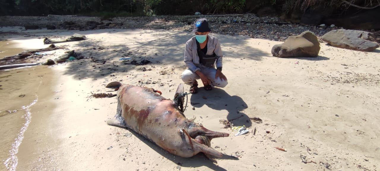 Bangkai Lumba-lumba yang terdampar dan membusuk. Foto: Istimewa
